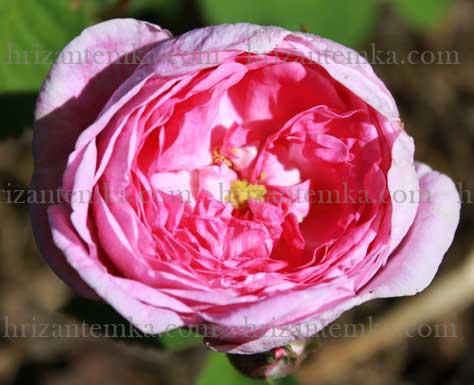 Швидке варення з пелюсток троянд